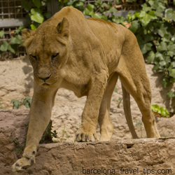 african lioness, barcelona zoo