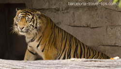 sumatran tiger at barcelona zoo